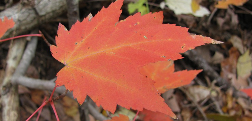 Red maple leaf in fall color