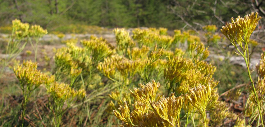 Expanse of Nuttall's rayless goldenrod in glade