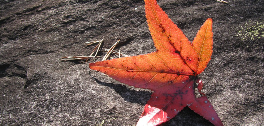 Sweetgum leaf and Virginia pine needles on sandstone
