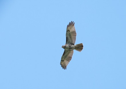 Red-tailed Hawk, imm