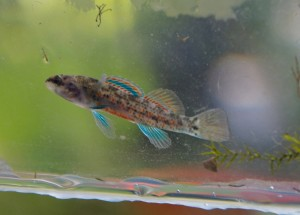 Male Watercress Darter with breeding coloration